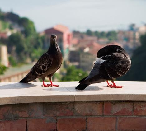 <span>비둘기퇴치</span><br>폐렴을 일으키는 세균을 보유하고 있어 유행동물로 지정된 비둘기 퇴치는 필수입니다.